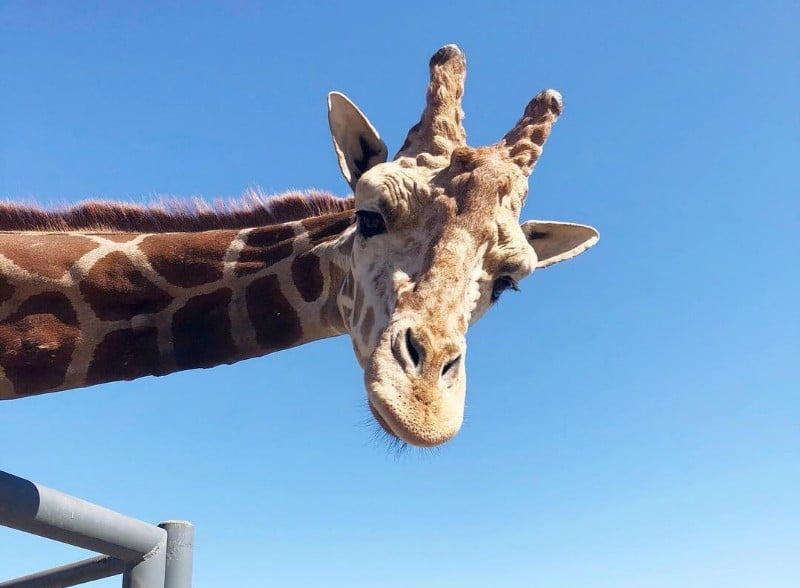 Don't Worry: Stanley The Giraffe Is Standing Tall Despite The Woolsey Fire
