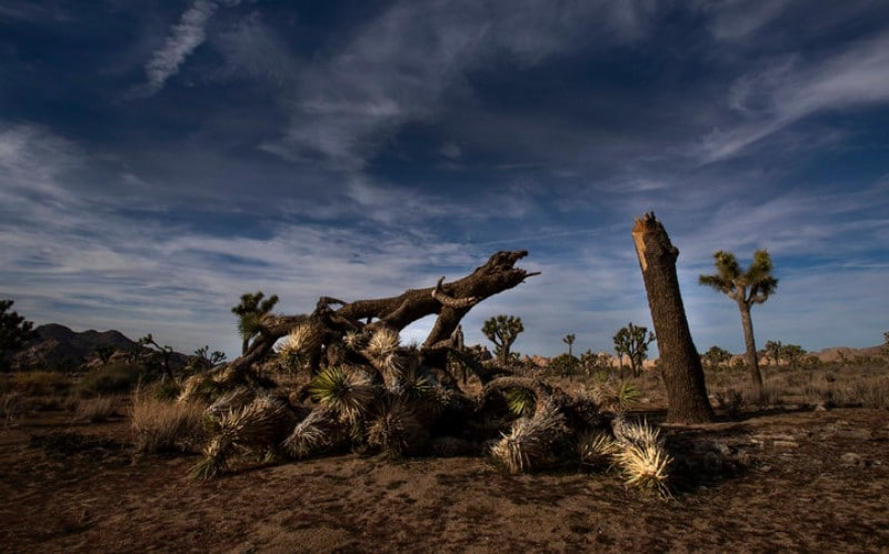 Damage Done To Joshua Tree May Take Up To 300 Years To Recover