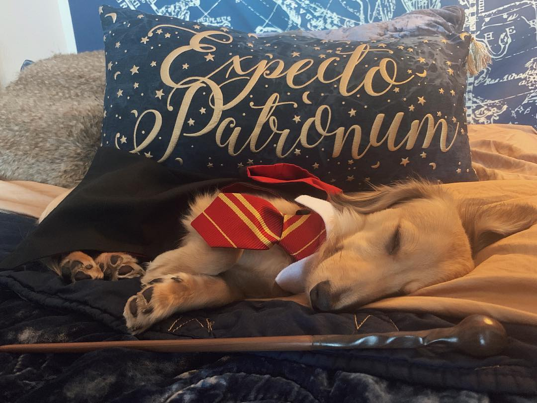 L.A. Pup Remus The Mini Dachshund Only Responds To Harry Potter Spells