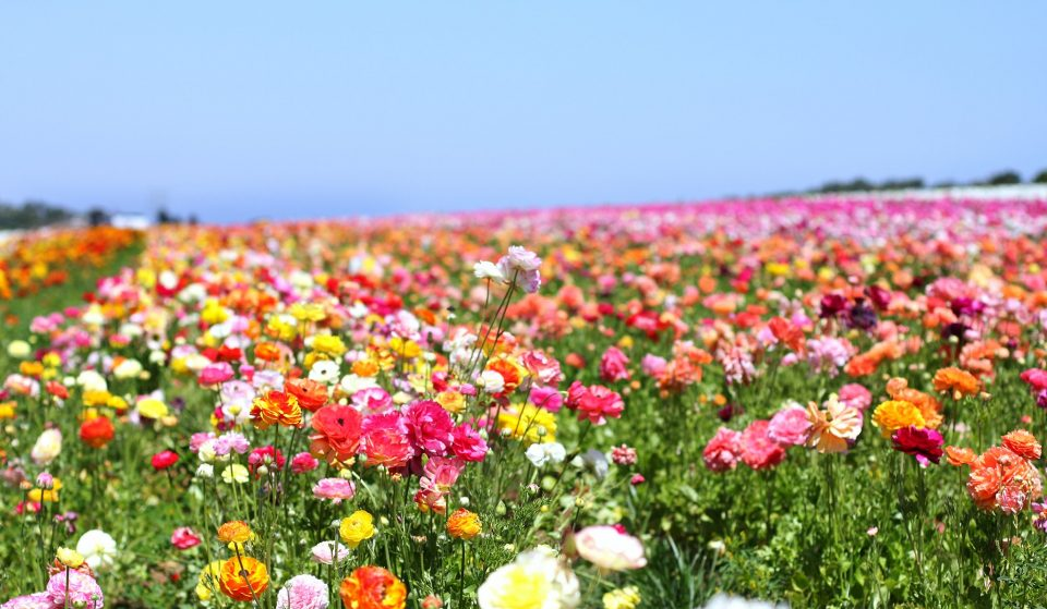 The Best Places To See Blooming Flower Fields And Wildflowers In SoCal