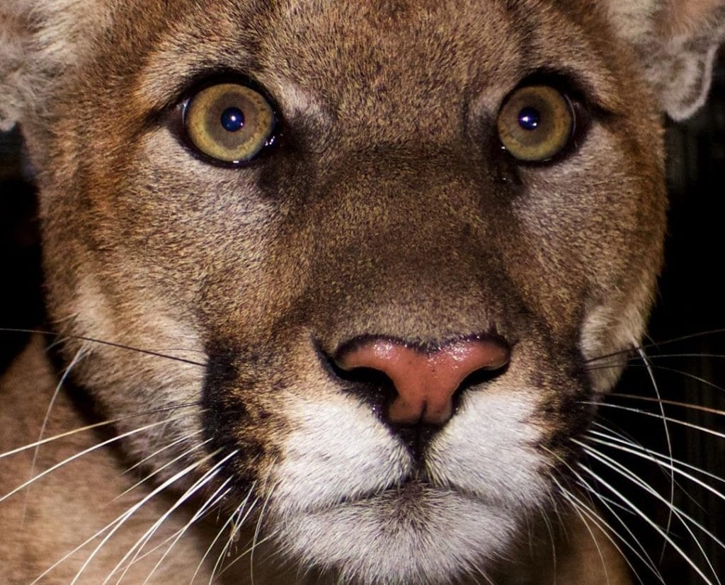 Mountain Lion P-61 Died While Trying To Cross The 405 Freeway Over The Weekend