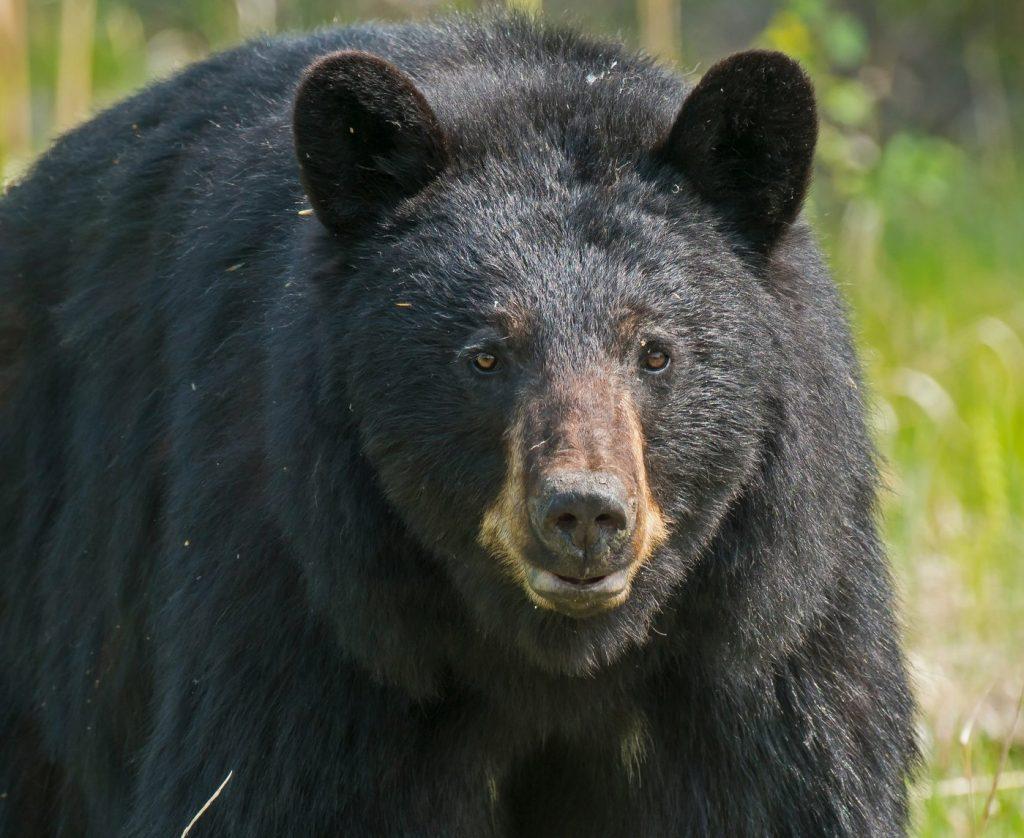 yosemite bears