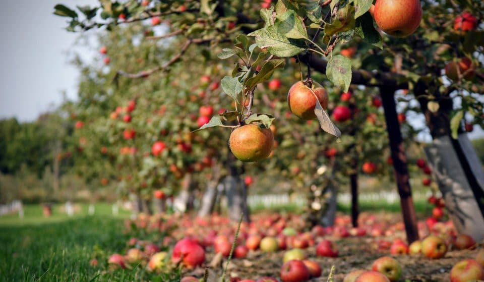 7 Places to Go Apple Picking And Grab Some Warm Apple Cider Near L.A.
