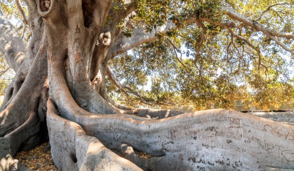 Marvel At The Beauty Of This 80-Foot Fig Tree In Santa Barbara