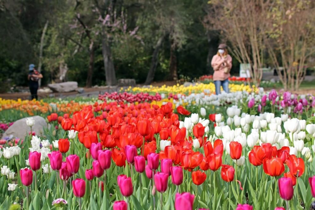 Thousands Of Breathtaking Tulips Are Reaching Peak Bloom At Descanso Gardens