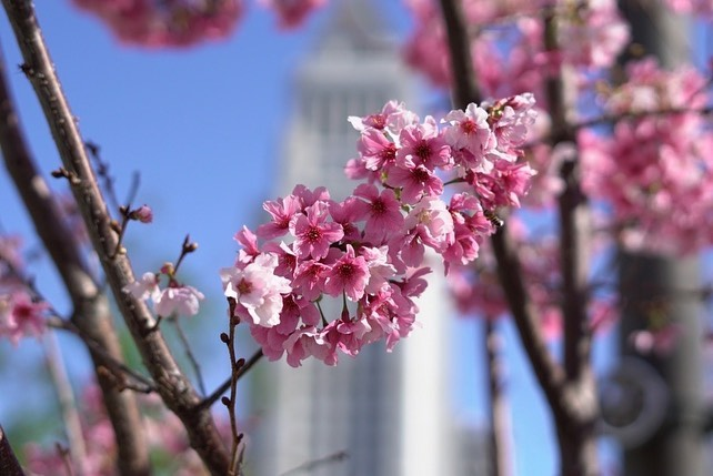 The Best Places To See Beautiful Cherry Blossoms Around Los Angeles