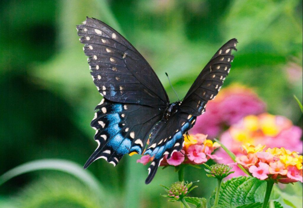 Wander Through A Pavilion Of Tropical Butterflies At The South Coast Botanic Garden