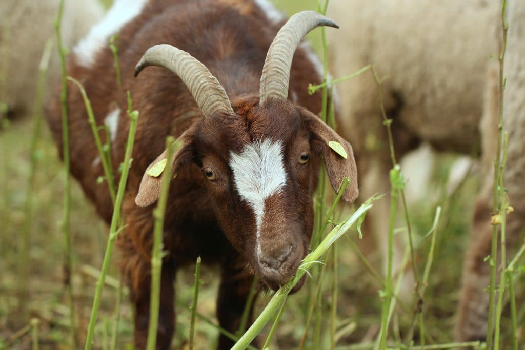 Cities Across California Enlist The Help Of Goats To Prevent Wildfires
