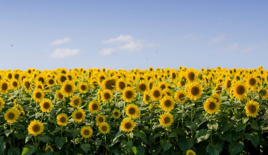 These Mammoth Sunflowers Are Blooming At This Stunning New Farm In Costa Mesa