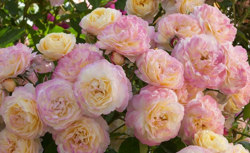The Roses At Huntington & Descanso Have Reached Peak Bloom And It's Utterly Dreamy