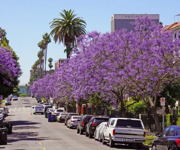 A Gallery Of L.A.'s Beautiful Jacarandas And Where To Find Them