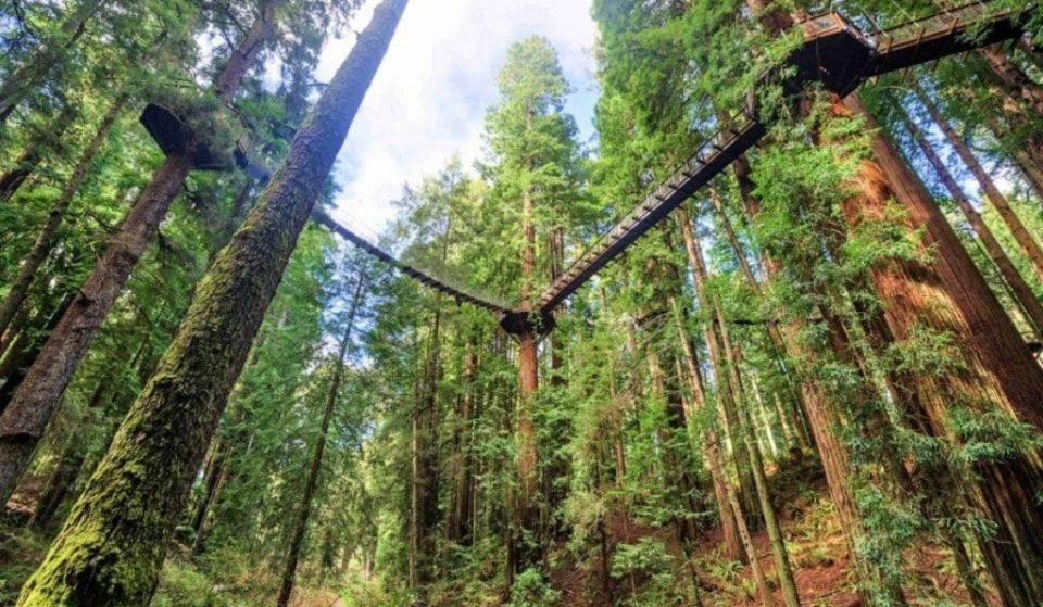 Walk 100 Feet Above The Ground On CA's Incredible New Redwood Skywalk