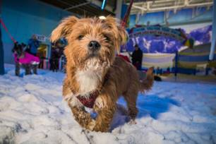 Dogs Will Take To The Slopes At Manchester's Chill Factore To Beat The Heat