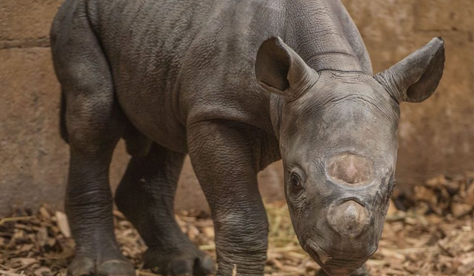 A Baby Black Rhino Was Born In Front Of Visitors At Chester Zoo Last Week