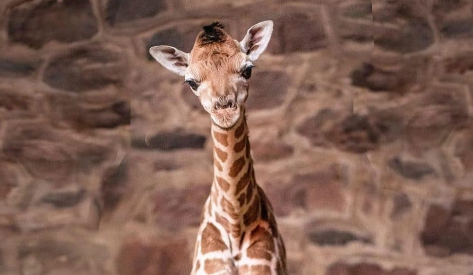 Watch: The Moment A Beautiful Baby Giraffe Was Born At Chester Zoo