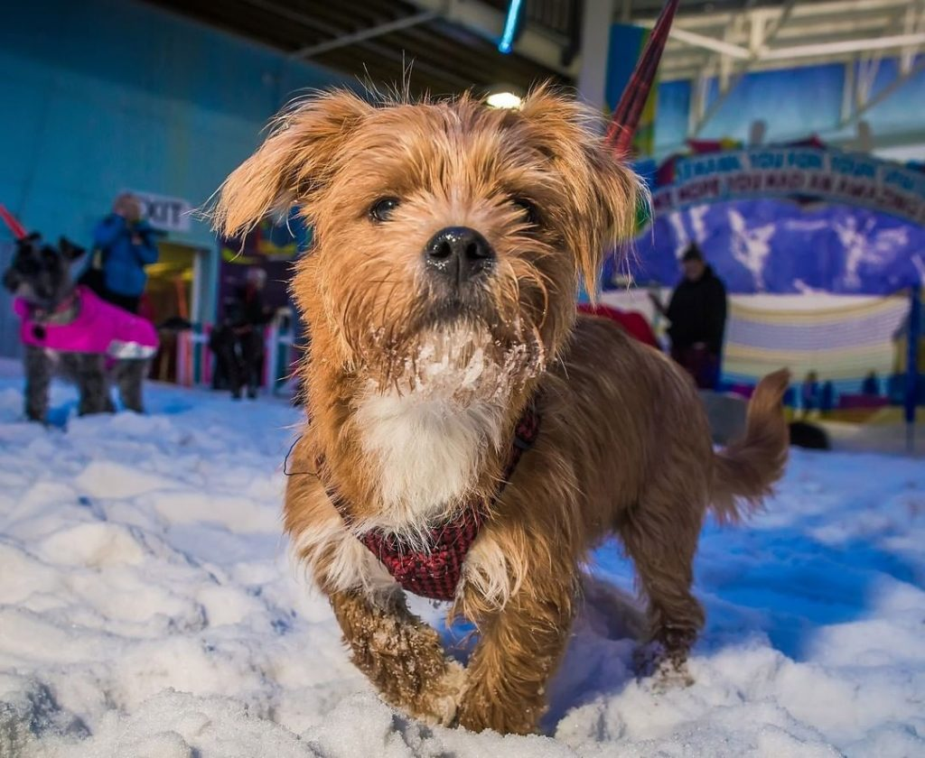 Dogs Will Take To The Slopes At Manchester's Chill Factore To Beat The Heat This Week