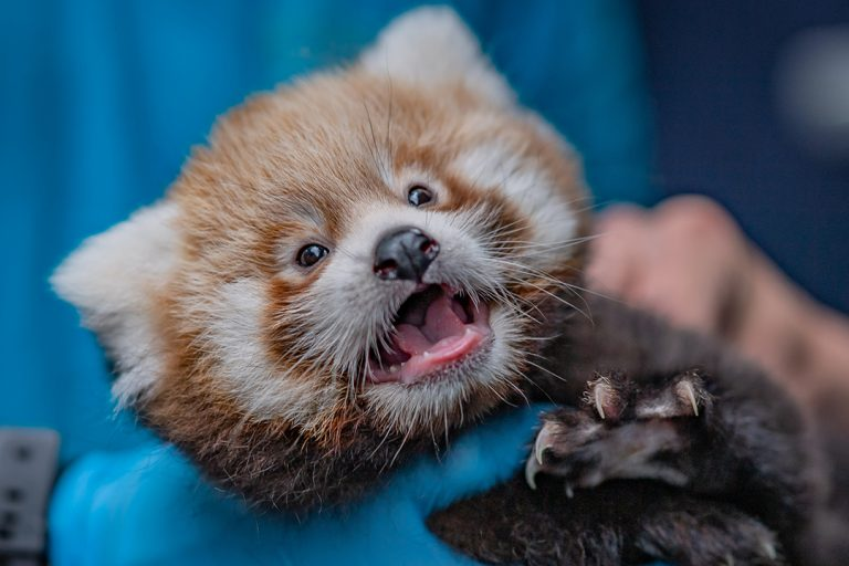 A First Look At Chester Zoo's Adorable Twin Baby Red Pandas