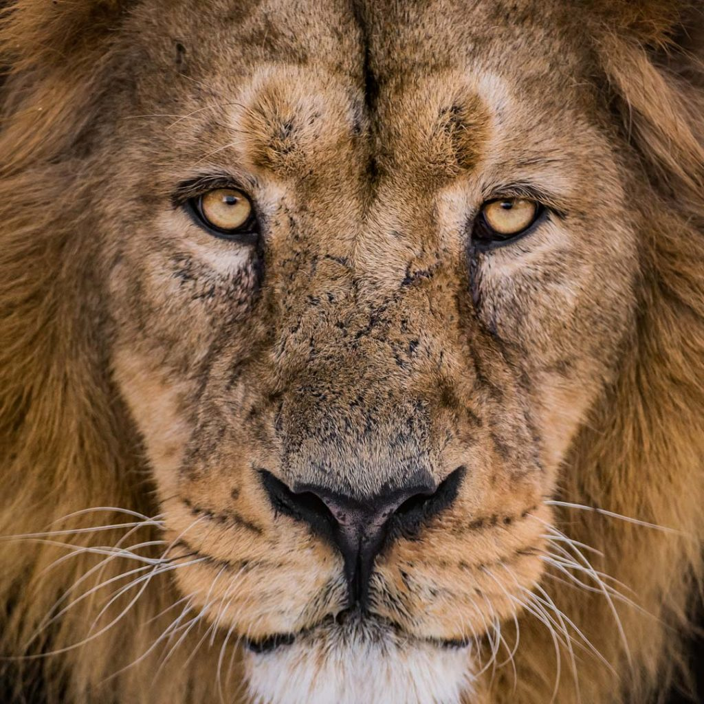 The UK's Largest Habitat For The World's Rarest Lions Has Opened At Chester Zoo