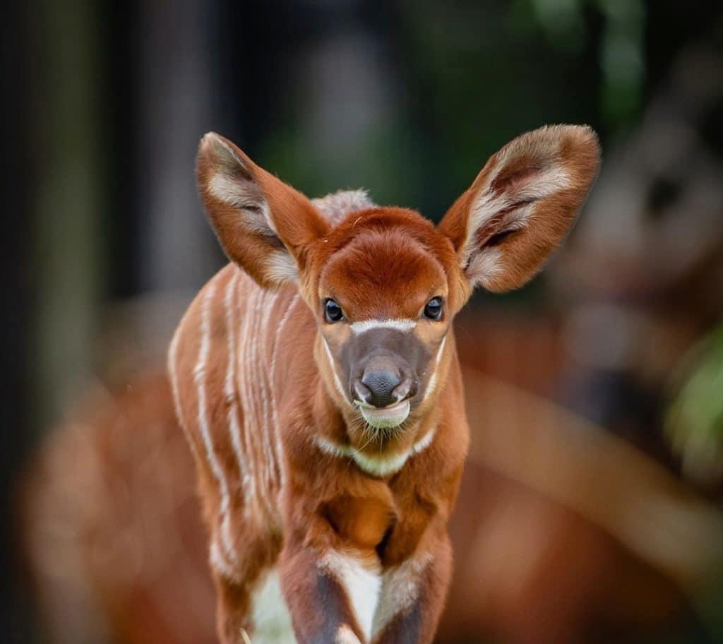 A Critically-Endangered Eastern Bongo Calf Has Been Born At Chester Zoo