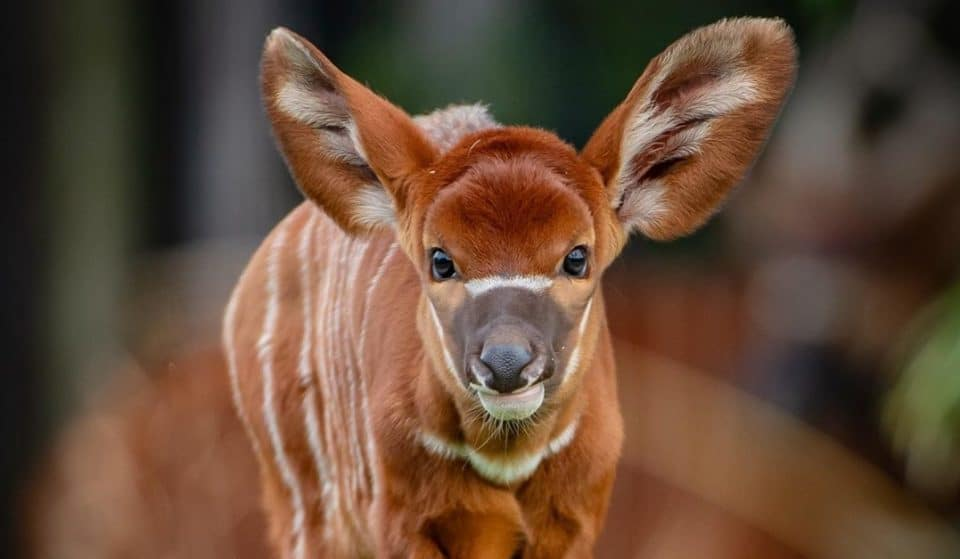 A Critically-Endangered Eastern Bongo Calf Has Been Born At Chester Zoo