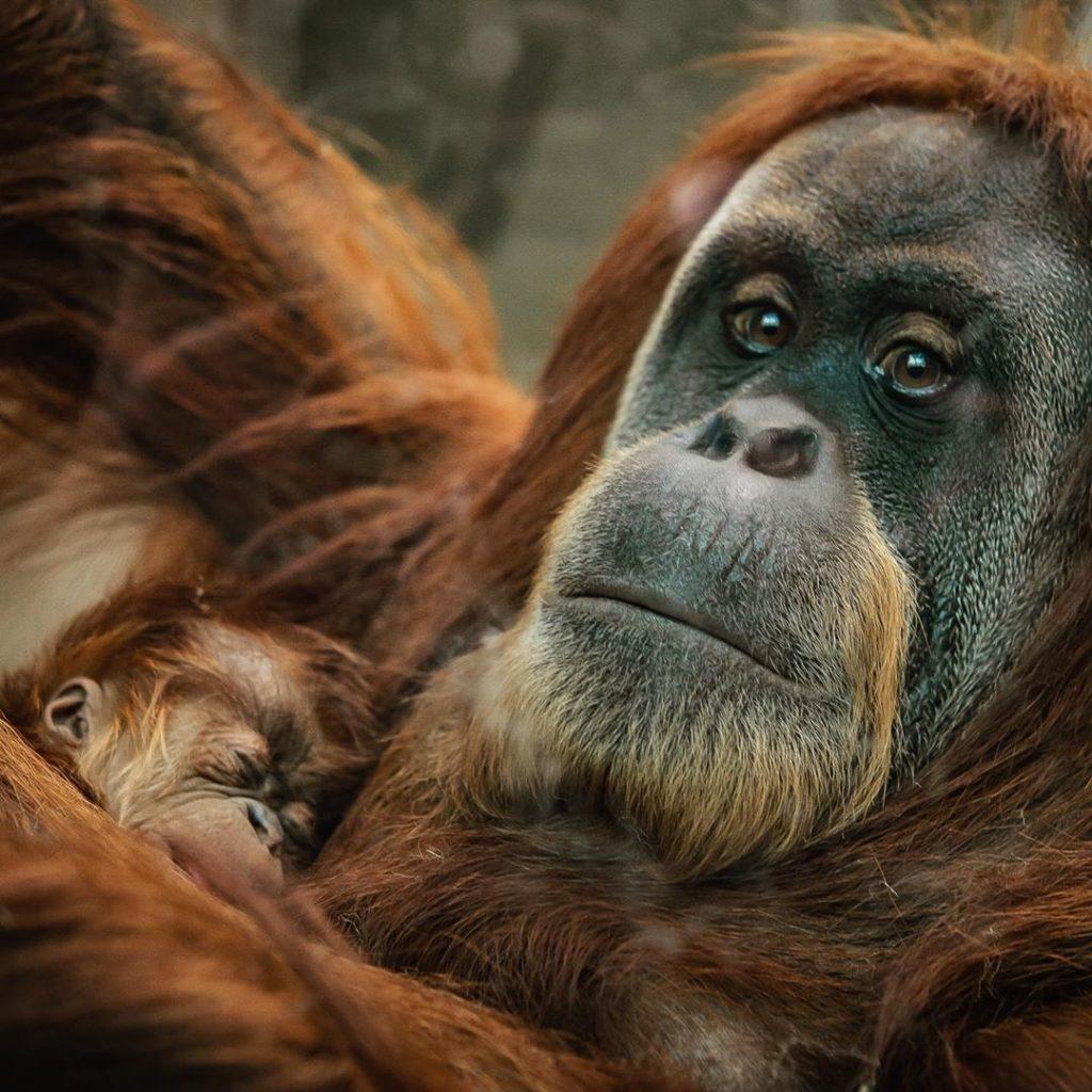 A Rare Baby Orangutan Has Been Born At Chester Zoo