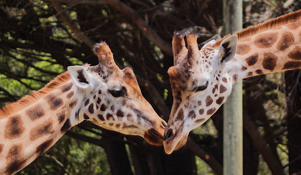 Chester Zoo Is Looking For Someone To Take Care Of Their Giraffes And Zebras