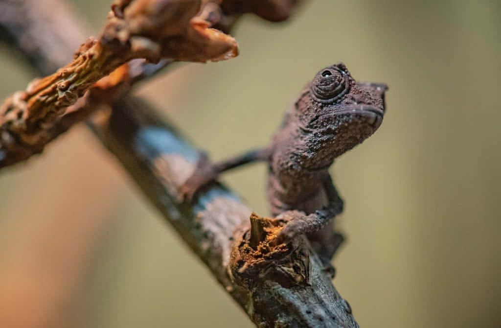 Tiny Chameleons Have Hatched At Chester Zoo And They Already Look Bored With Life