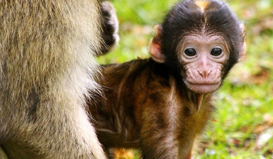 Trentham Monkey Forest Will Re-Open This Month Following The Government's Recent Announcement