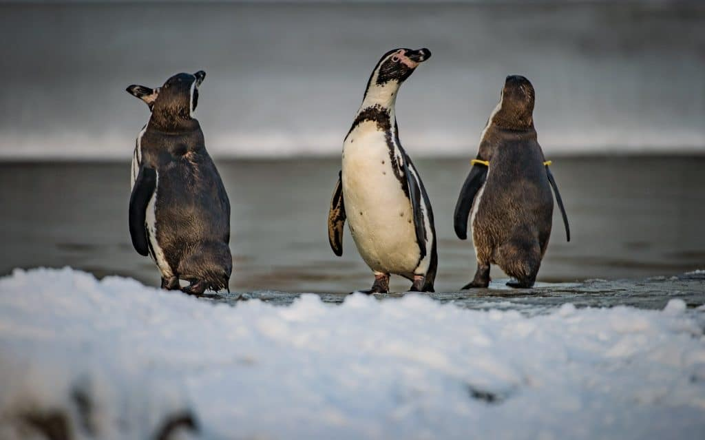 Iceland Has Adopted Chester Zoo's Penguins In A Bid To Save The Zoo