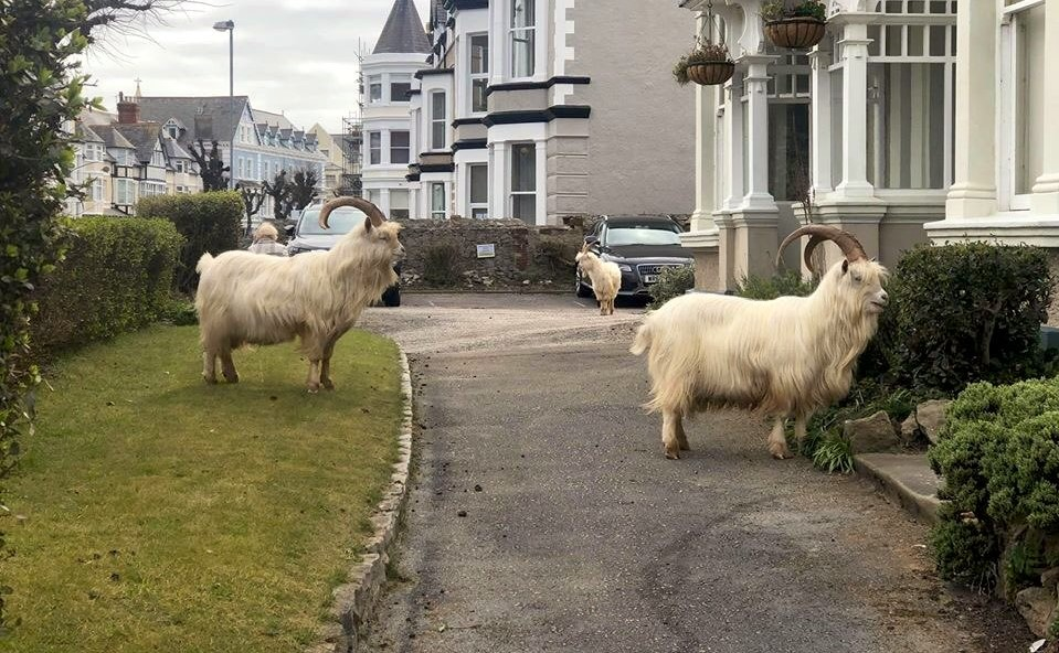 Mountain Goats Have Taken Over This Little Welsh Town, And Frankly It's Brilliant