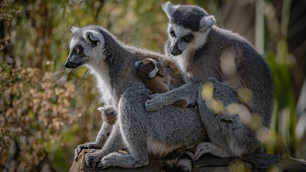 These Rare Ring-Tailed Lemur Twins Were Just Born At Chester Zoo