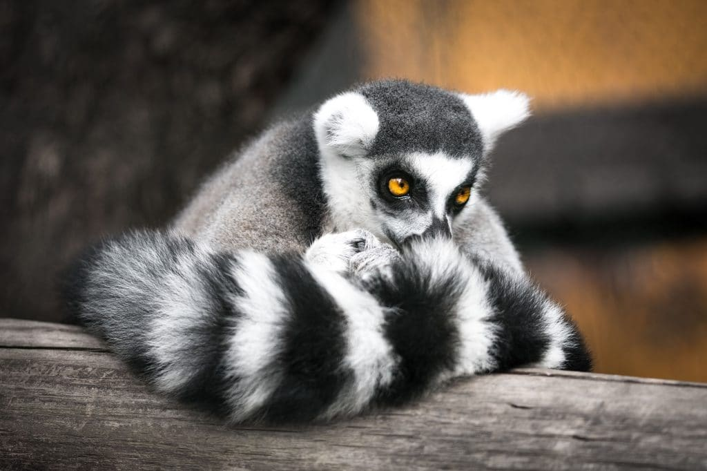 You Can Now Do Yoga With Lemurs In The Picturesque Lake District