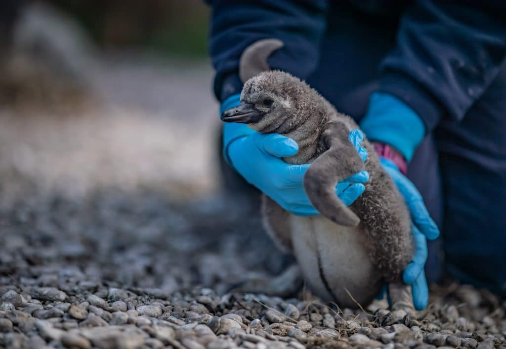 Five Penguin Chicks Have Hatched At Chester Zoo – And They've Been Named After NHS Heroes