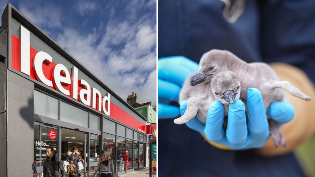Iceland Will Donate All Profits From Penguin Chocolate Bars To Chester Zoo