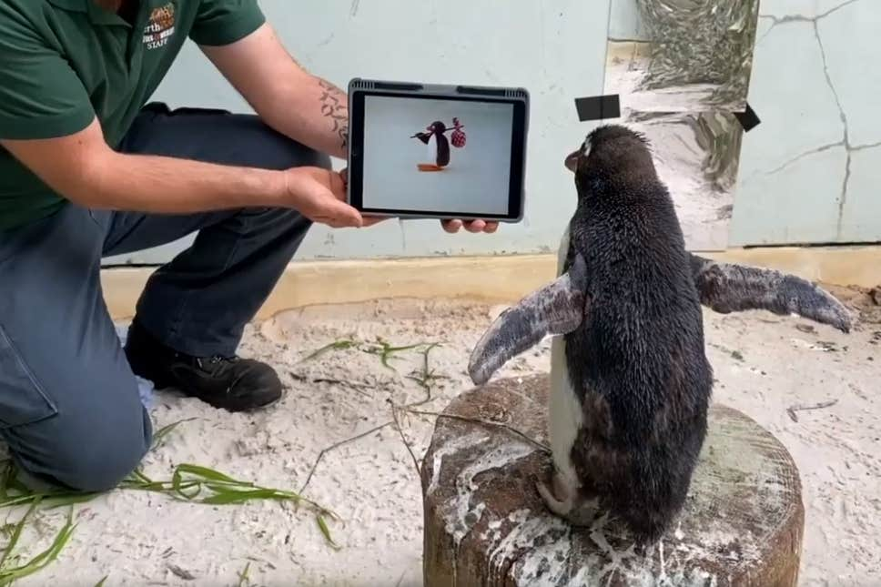 This Adorable Penguin Passed His Time In Isolation By Watching Pingu