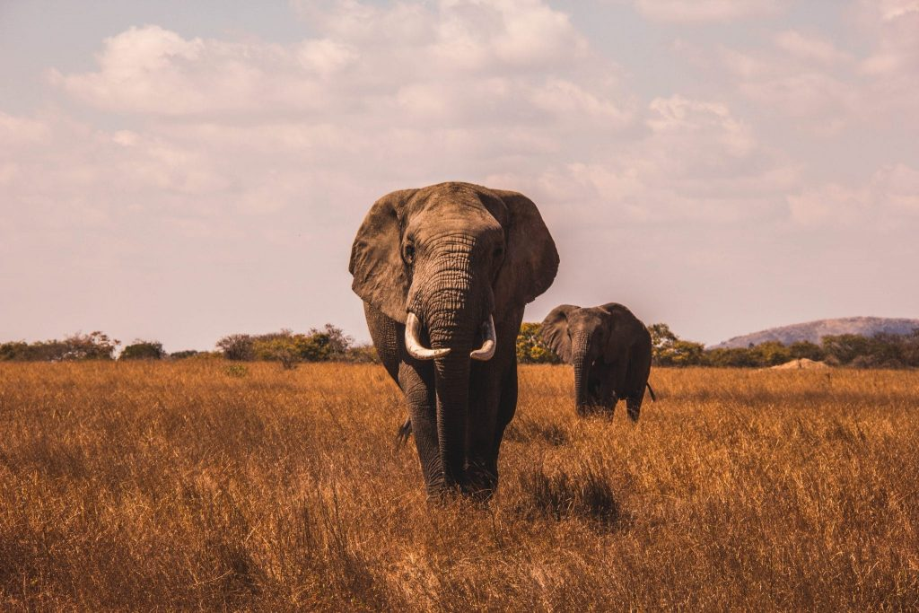 Kenya's Elephant Population Has More Than Doubled Since 1989