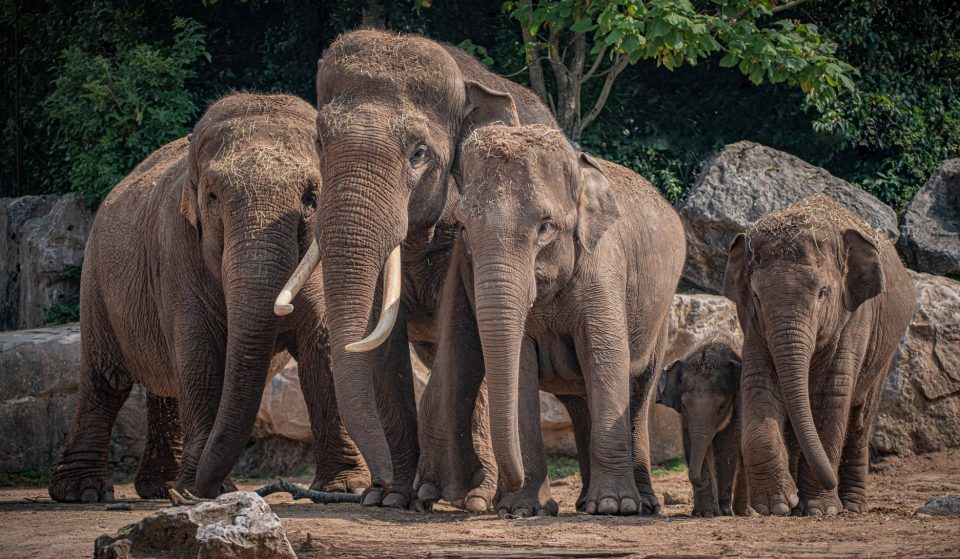 Longtime Matriarch Of Chester Zoo's Elephant Family Has Sadly Died