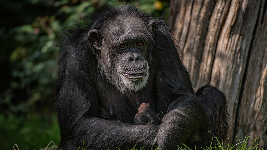 A Critically Endangered Chimpanzee Has Been Born At Chester Zoo