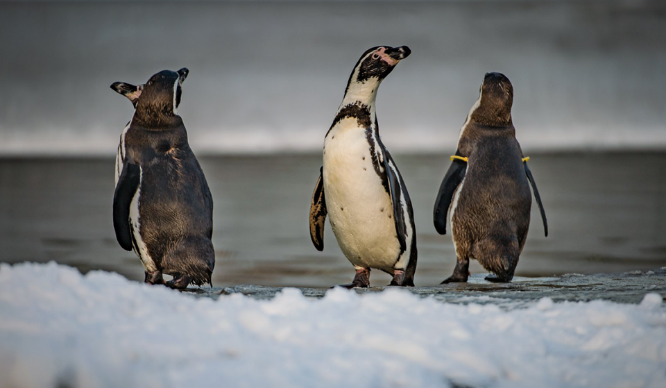 Chester Zoo Is Hiring For Someone To Look After Their Penguins