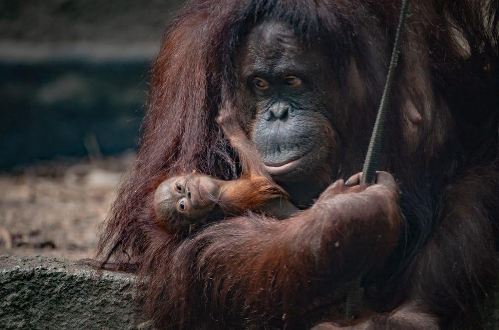 A Critically Endangered Bornean Orangutan Has Been Born At Chester Zoo