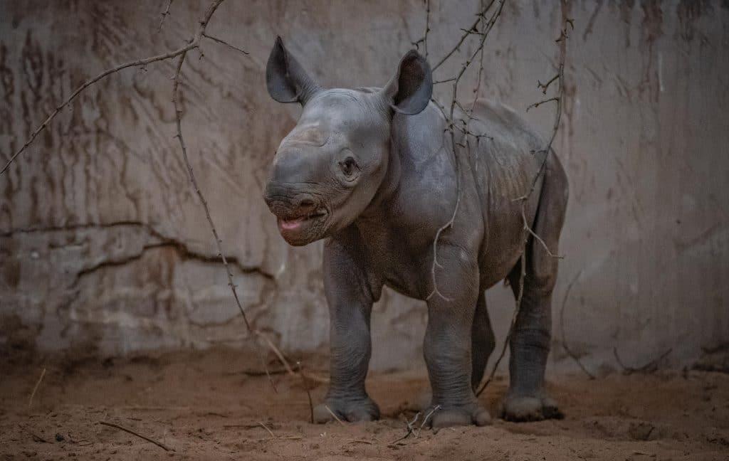 A Rare Baby Rhino Has Been Born At Chester Zoo And She Looks Like She's Loving Life Already