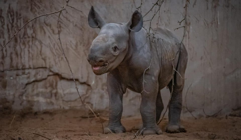 A Rare Baby Rhino Has Been Born At Chester Zoo And She Looks Like She's Loving Life Already