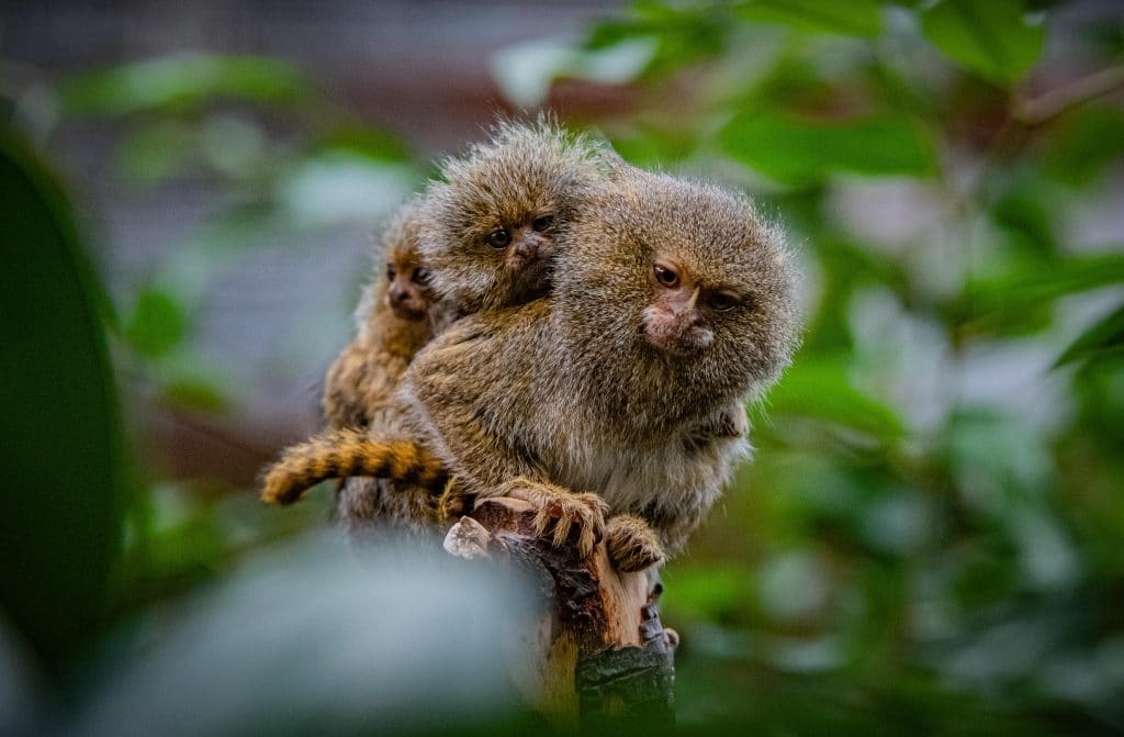 Some Of The World's Smallest Monkeys Have Been Born At Chester Zoo