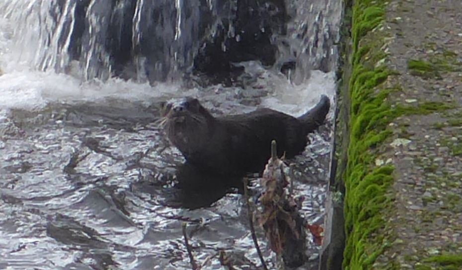 An Otter Has Been Spotted In The River Irwell And It's The News We All Needed Today