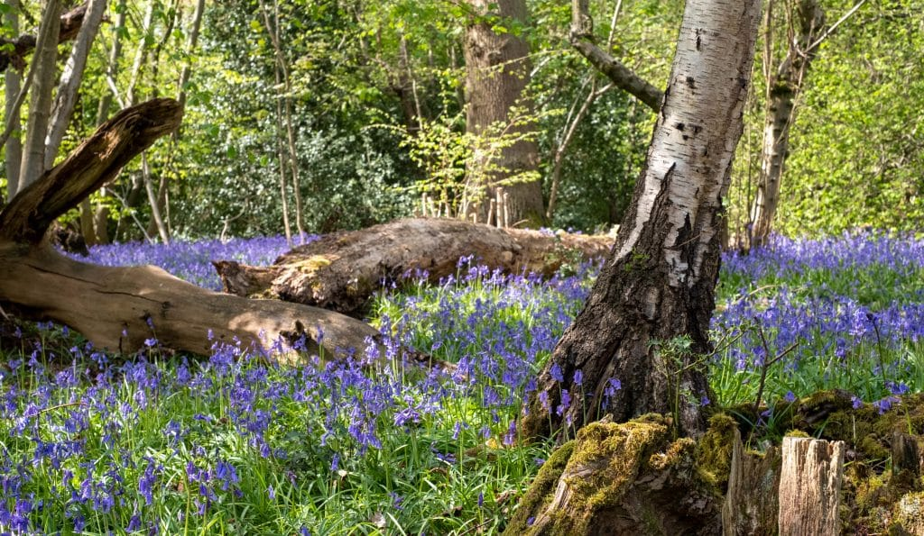 5 Beautiful Places To Spot Bluebells In And Around Manchester