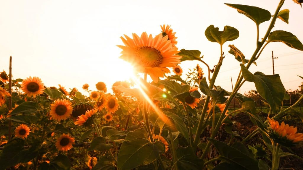 Get Lost In A Sea Of Sunflowers On This Stunning South Manchester Nature Walk