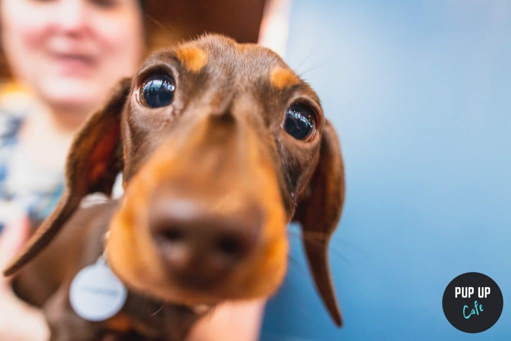 A Sausage Dog Pup-Up Cafe Is Coming To Manchester And It's Too Cute