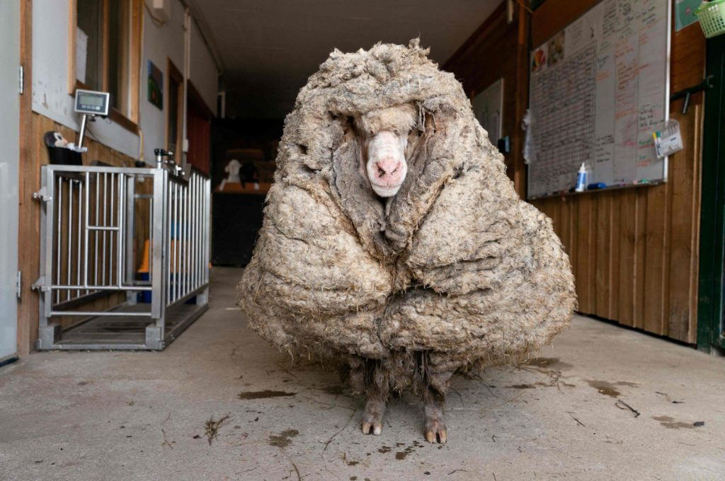 Buy Wine To Help Edgar's Mission, The Farm Sanctuary That Saved Baarack The Sheep From The Weight Of His Fleece