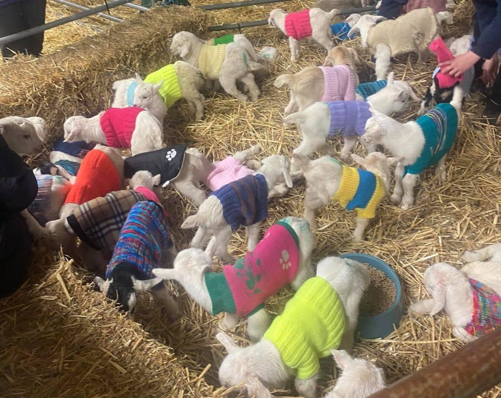 Matty's Sanctuary goats in coats