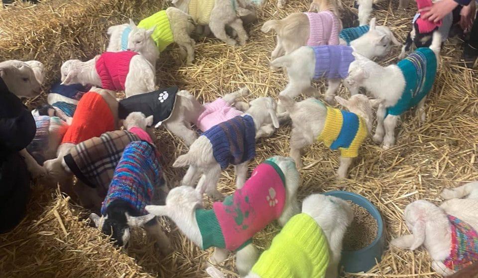 Adopt Adorable Goats In Coats From Matty's Sanctuary Near Bendigo